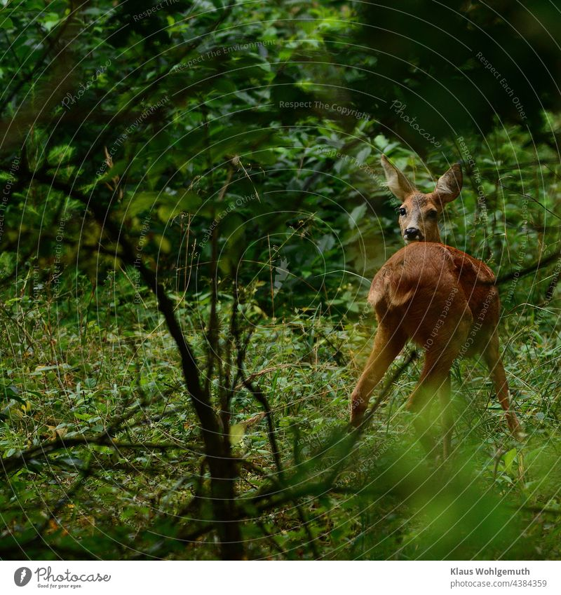 Weibliches Reh auf einer Waldlichtung im Morgengrauen Ricke Lichtung Natur Farbfoto Umwelt Außenaufnahme Menschenleer beobachten Tierporträt Wildtier Gras grün
