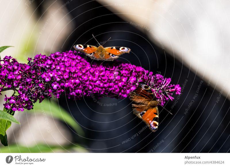 Tagpfauenauge Schmetterling Insekt Makroaufnahme Natur Flügel Menschenleer Tierporträt Farbfoto schmetterlingsflügel Schwache Tiefenschärfe Fühler Wildtier
