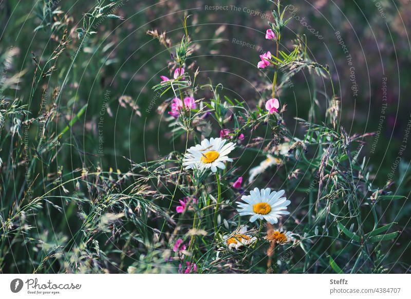 Sommerblumen streben zum Licht. Gräser überwuchern. Der Garten verwildert. Margeriten Margeritenblüte Leucanthemum Duftende Platterbse Haiku Duft-Wicke