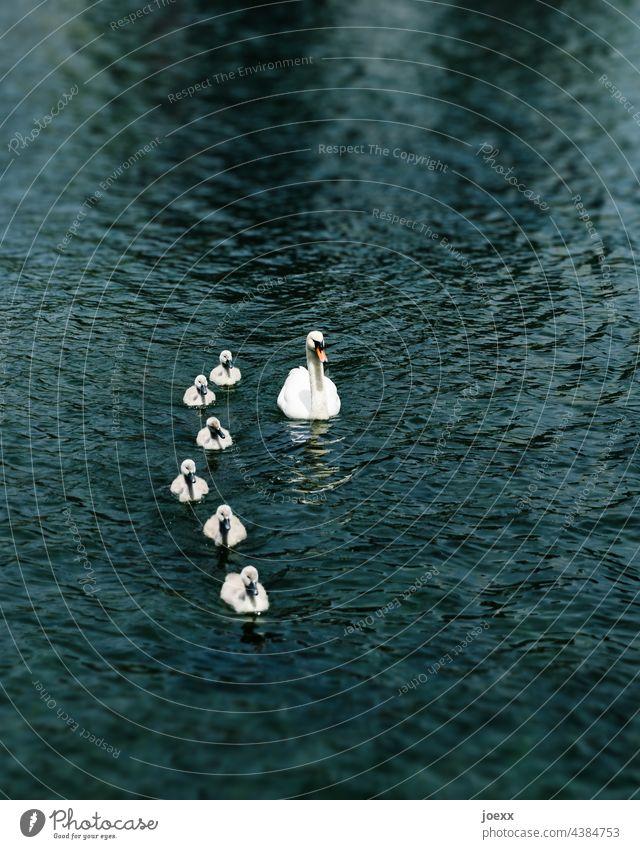 Schwan schwimmt mit Küken auf dunklem Wasser Höckerschwan Junge Tierjunge alleinerziehend Vogel Familie Außenaufnahme Tierfamilie Gruppe Eltern Zusammenhalt