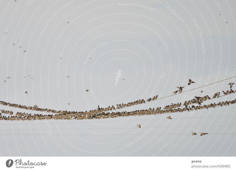 Starstrom 2 Natur Sommer Tier Umwelt grau braun Vogel sitzen Wildtier Schönes Wetter Elektrizität Tiergruppe fliegend Leitung Schwarm Darß