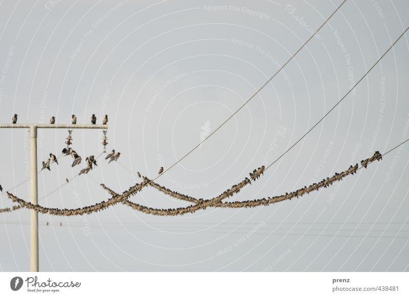 Starstrom-Darß Umwelt Natur Tier Wildtier Vogel Tiergruppe Schwarm blau grau Strommast Leitung viele Vorpommersche Boddenlandschaft Farbfoto Außenaufnahme