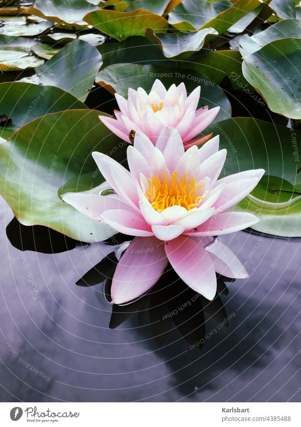 Seerose Seerosen Wasser Teich Pflanze Natur grün Blüte Farbfoto Blume Blatt Seerosenblatt Außenaufnahme Menschenleer Seerosenteich Wasserpflanze Tag Blühend