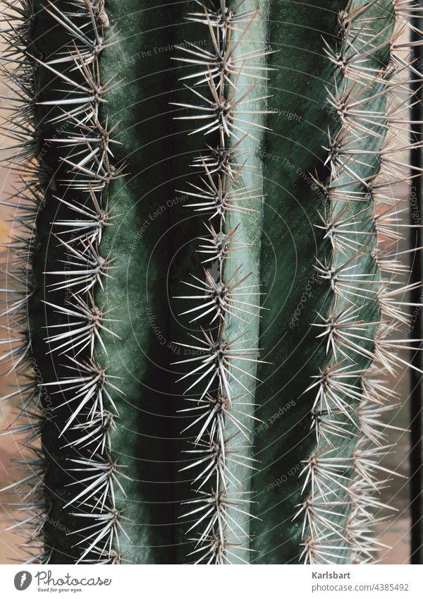 el machico Kaktus Pflanze Stachel Wüste trocken Trockenheit Klimaschutz Klimawandel Zimmerpflanze Detailaufnahme Strukturen & Formen Sukkulenten stachelig Dorn