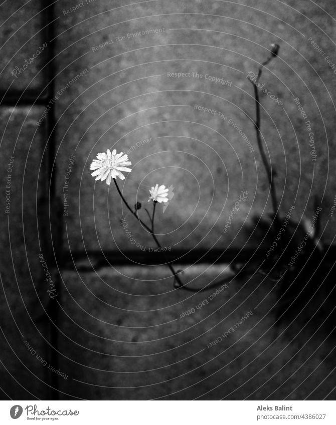 Blume die sich durch Beton kämpft, in schwarzweiß Schwarzweißfoto Pflanze Außenaufnahme Betonboden Betonsteine Nahaufnahme Kämpfen Gewinnen Naturgewinnt Düster