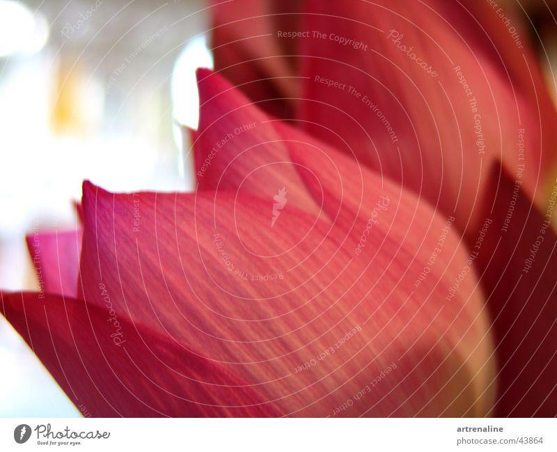 Lotus Blume ruhig Blüte Rose paarweise Dekoration & Verzierung