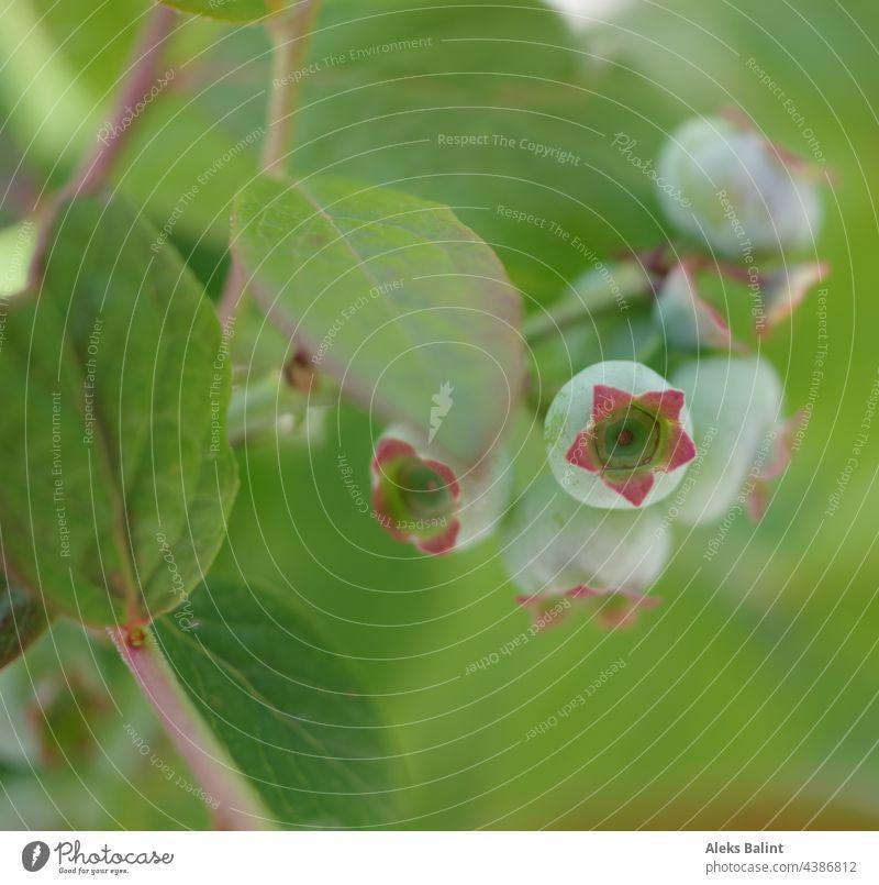 Unreife Blaubeeren Blueberries unreif grün Sträucher Beeren Natur Farbfoto Außenaufnahme Pflanze Sommer