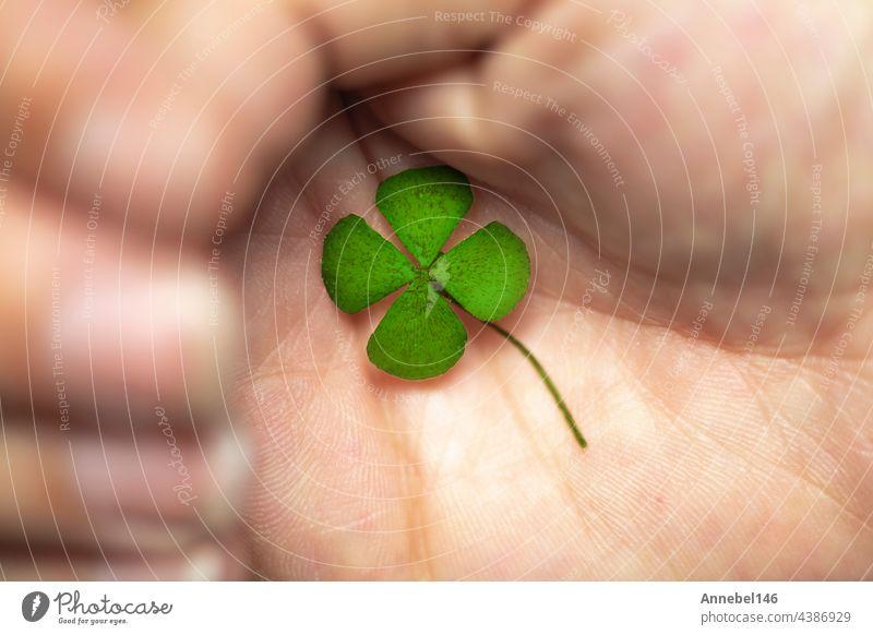 Isolierte Hand mit grünem vierblättrigem Kleeblatt, Zeichen des Glücks, Zeichen des großen Reichtums. Pflanze Blatt glücklich Symbol Tag Natur natürlich