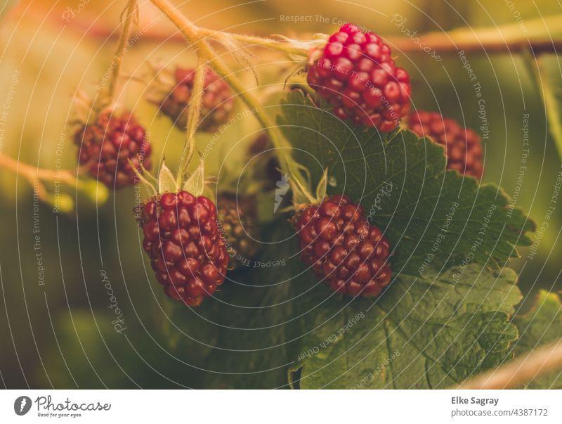 Brombeeren sind die reinsten Vitaminbomben... Frucht Beeren Farbfoto Lebensmittel Sommer Bioprodukte Gesundheit Gesunde Ernährung Nahaufnahme Diät rot Design