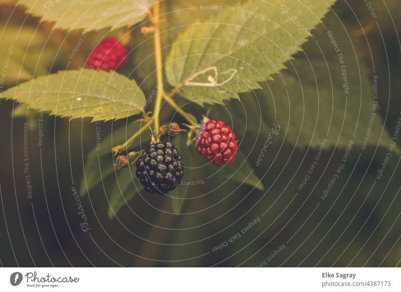 Brombeeren sind lecker , gesund und Kalorienarm...nur die reifen Beeren :) Frucht Lebensmittel Ernährung Nahaufnahme Vegetarische Ernährung Gesundheit rot