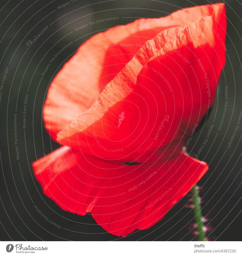 Der Mohn, beharrt auf Rot. Verweile Mohnblüte roter Mohn Mohnblume Papaver blühender Mohn Haiku poetisch rote Wildblume rote Blüte rote Blume Wildpflanze