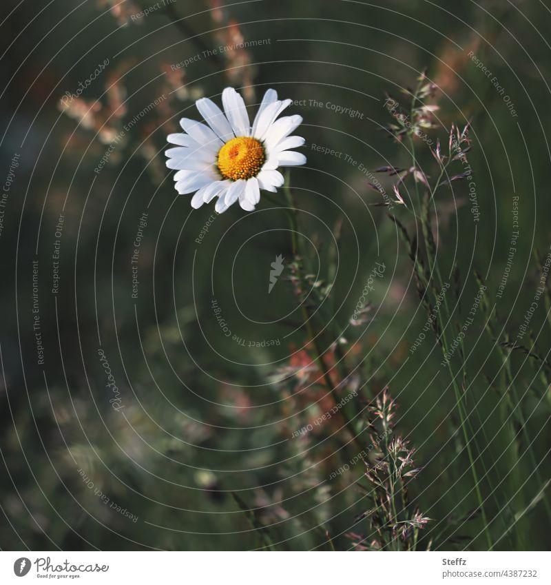 eine Margerite blüht im verwilderten Garten Margeritenblüte Leucanthemum weiße Margerite Blume Blüte blühende Margerite Gräser Unkraut überwuchern überwachsen