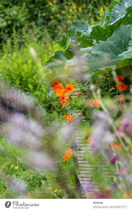 Da haben wir den Salat | mit essbaren Blüten dekoriert Garten Bauerngarten Kapuzinerkresse natürlich Blume Sonnenlicht sommerlich hell Schönes Wetter rot
