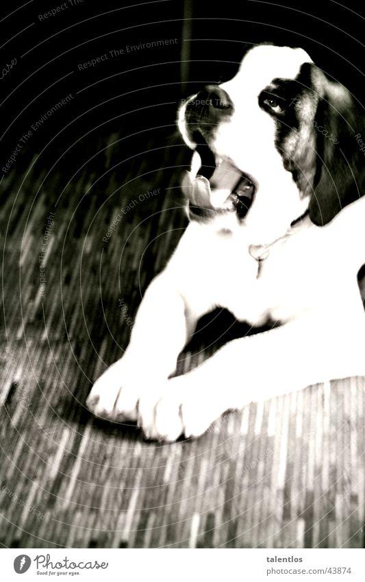 action dog Hund gähnen Haustier Müdigkeit Dynamik bernhardiner
