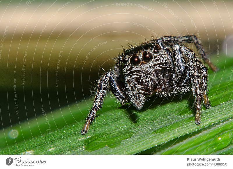 Springspinne auf einem Grashalm Spinne Makro Nahaufnahme Natur Farbfoto Tier Makroaufnahme Menschenleer Tierporträt Schwache Tiefenschärfe Wildtier Sonnenlicht
