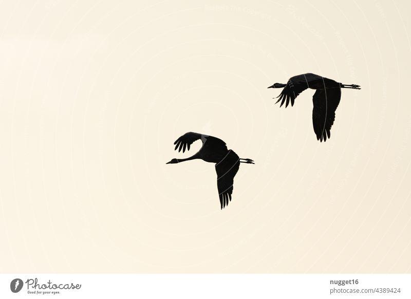 Silhouetten von fliegenden Kranichen im Morgenlicht Himmel Natur Vogel Außenaufnahme Wildtier Farbfoto Tier Menschenleer Umwelt Zugvogel Schwarm Tiergruppe