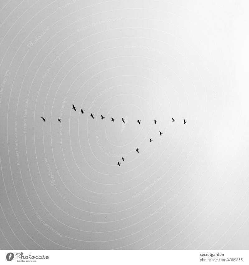 Der Schwarm Himmel Vögel Zugvögel minimalistisch Schwarzweißfoto fliegen Flug Zugvogel Vogel Natur Freiheit Vogelschwarm frei Außenaufnahme Herbst Luft