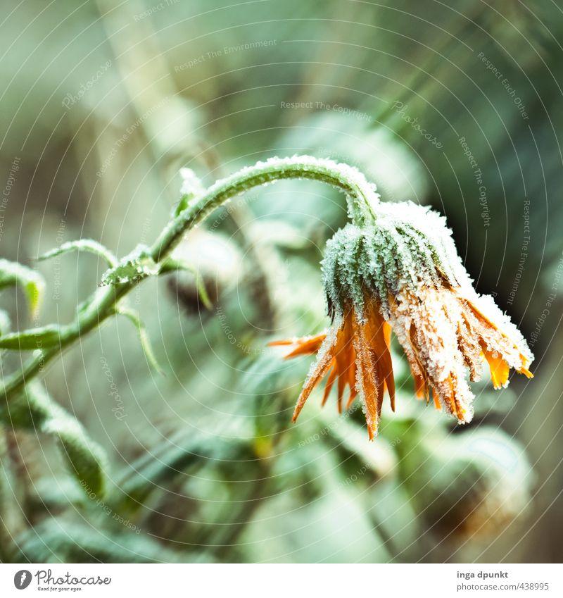 die Winterringelblume Umwelt Natur Landschaft Pflanze Klima Eis Frost Schnee Schneefall Blume Wildpflanze Ringelblume Korbblütengewächs Blütenpflanze kalt