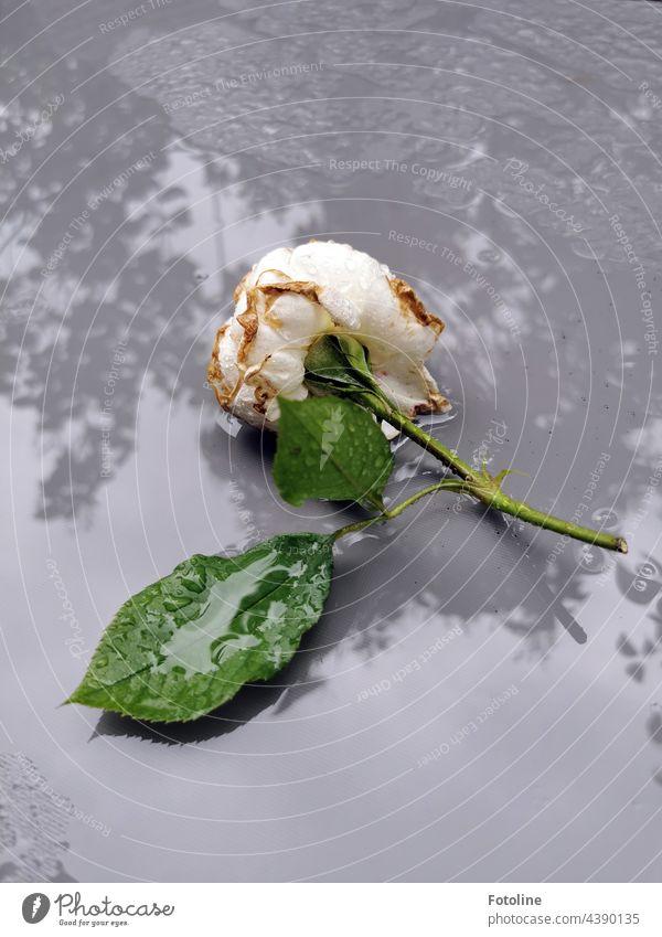 Eine weiße, betörend duftende Rose liegt auf einem nass geregneten Gartentisch. Blume Pflanze Natur Außenaufnahme Farbfoto Menschenleer Tag grün