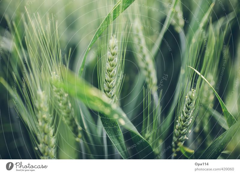 """Ähre Natur Tier Sommer Pflanze Nutzpflanze Feld Blühend Wachstum Spitze stachelig grün """"Weizen Ernte Reifen Getreide Landwirtschaft Agrar Korn Körner Wachsen"""""""