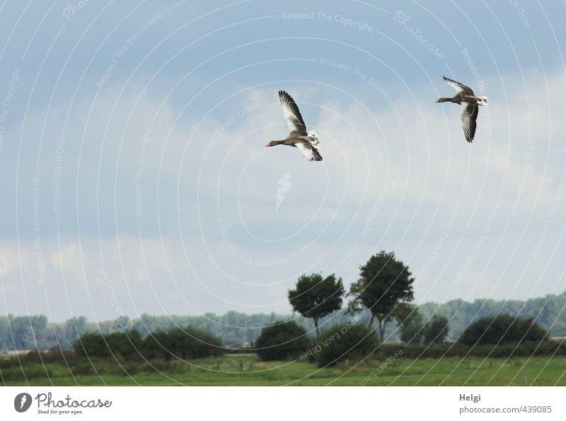 Landeanflug... Umwelt Natur Landschaft Pflanze Tier Himmel Sommer Schönes Wetter Baum Gras Sträucher Wiese Wildtier Gans Graugans 2 Bewegung fliegen authentisch