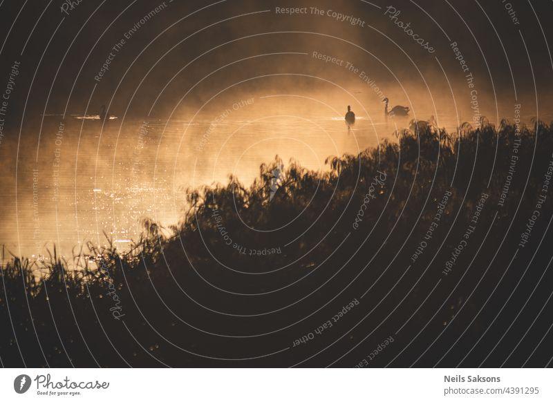 Schwäne im nebligen Oktobermorgen-Sonnenaufgang. Gelbes trockenes Flussschilf im Vordergrund. Unscharfe Reflexion des anderen Flussufers im Hintergrund. Monochrome dunkel doomy gelb braun Version