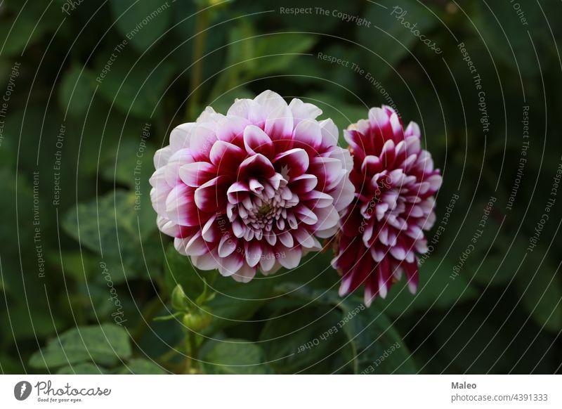 Isolierte natürliche Dahlienblüte auf grünem Hintergrund Aroma Herbst schön Schönheit Bett Blütezeit Überstrahlung Botanik Blumenstrauß hell Buchse Nahaufnahme
