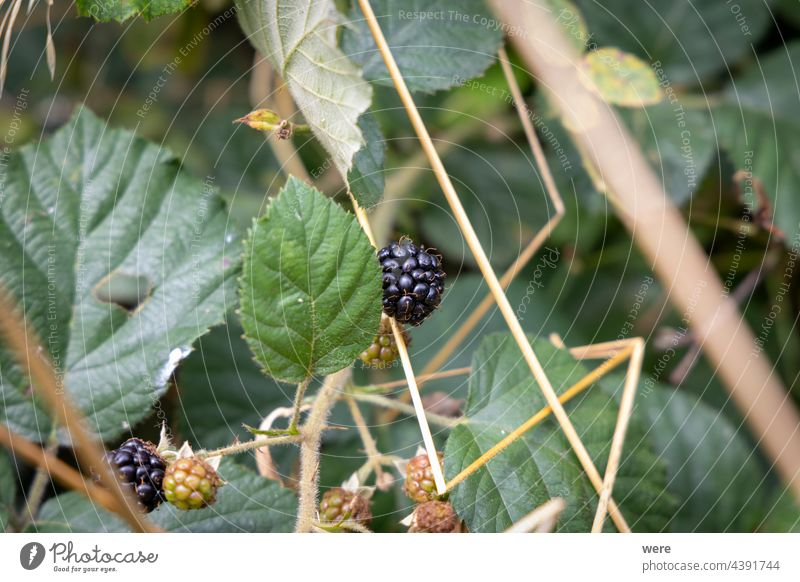 Reife Brombeeren an einem Brombeerstrauch Brombeerbusch Textfreiraum Landwirt Blumen Lebensmittel Wald Frucht Obstanbau Obstbaum Gartenarbeit Natur niemand