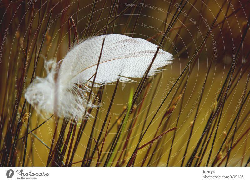 Vom Winde verweht Natur Sommer Gras Moor Sumpf Teich Feder ästhetisch schön weich grün weiß Romantik Gelassenheit ruhig Weisheit Frieden Leichtigkeit rein Flaum