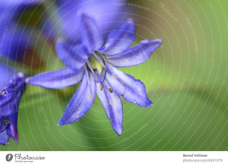 Schmucklilie Agapanthis Agapanthus Bauerngarten Amryllisgewächse Blüte Blume Pflanze Außenaufnahme Farbfoto Sommer Menschenleer grün schön Blühend Garten Natur