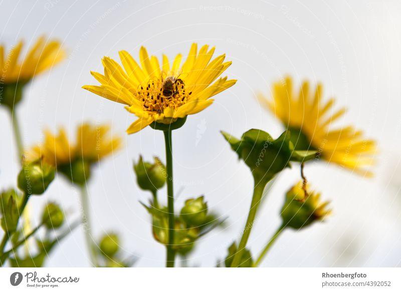 Silphium perfoliatum oder die durchwachsene Silphie als wunderschöne Bienenweide silohium perfoliatum blume bienenweide honigbiene arbeiterin blumeblüte gelb