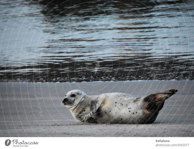 Robbe vor Helgoland voraus Robben Robbenkolonie Tier Farbfoto Außenaufnahme Wildtier Natur Küste Umwelt Tag Strand Menschenleer Meer Nordsee Wasser Insel Licht