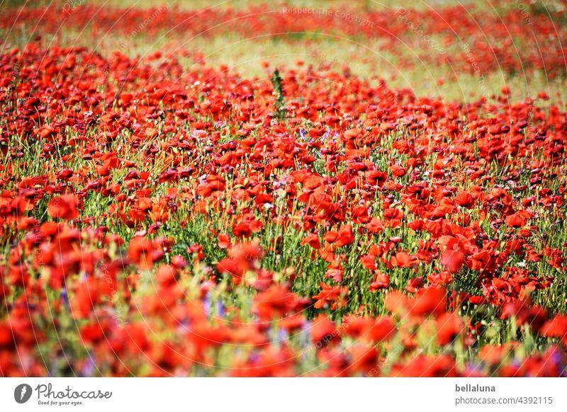 verblühtes Mohnfeld Blume Blüte rot Sommer Pflanze Natur Mohnblüte Farbfoto Klatschmohn Außenaufnahme Wiese Feld roter mohn mohnwiese intensiv Landschaft Idylle