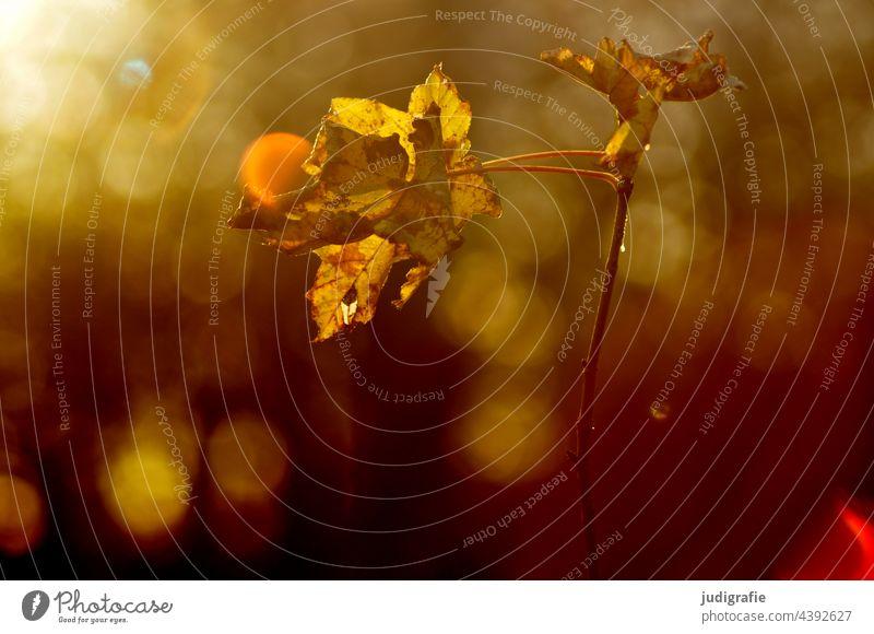 Licht im Wald Blatt Baum Natur Lichterscheinung Lichtspiel Laub Herbst Sommer Zweig Pflanze Sonnenlicht herbstlich natürlich zart braun Blätter Herbstlaub