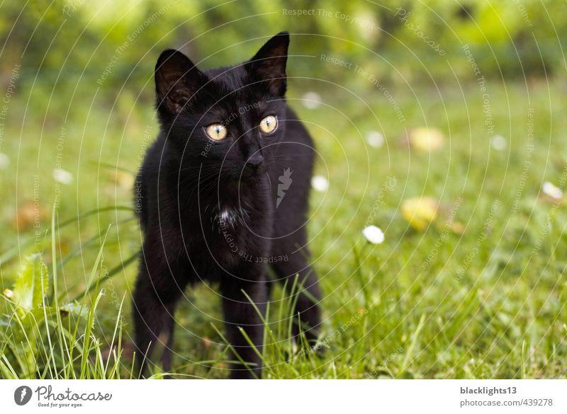 """Katze """"Kot Kuba"""" Hauskatze Haustier Katzenauge Auge Blick Tier schwarz Außenaufnahme Sommer Rasen Fröhlichkeit Tierjunges Gesicht Spielen"""