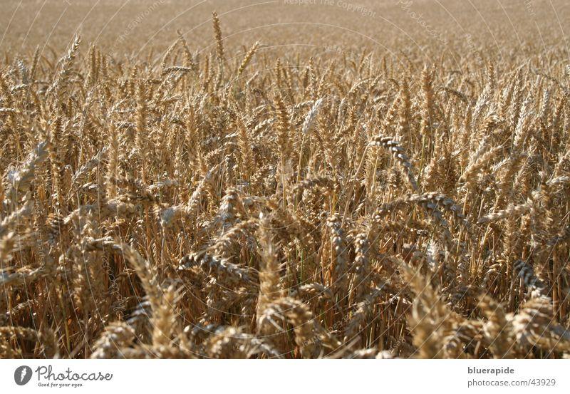 Weizen, nichts als Weizen Ähren braun trocken Ferne Halm Feld Korn Ernte