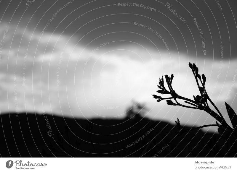 Ein Gewitter zieht auf weiß Pflanze schwarz Wolken dunkel Blüte grau Hintergrundbild diagonal Blütenknospen