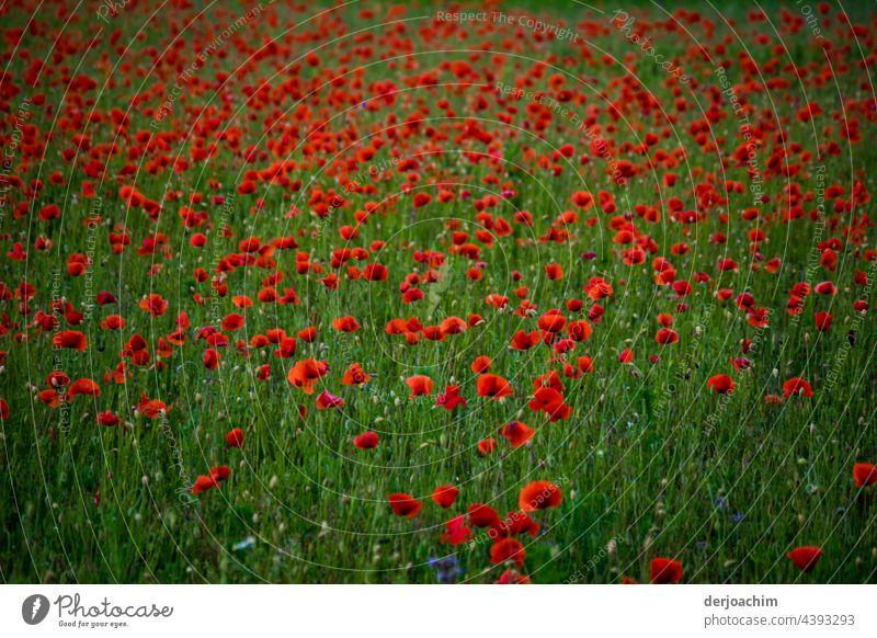Heute ist Mon ( h ) tag. Unzählige Mohnblumen auf grüner Wiese. mohnblumen Natur Blume Sommer Blüte rot Außenaufnahme Pflanze Mohnblüte Menschenleer Farbfoto