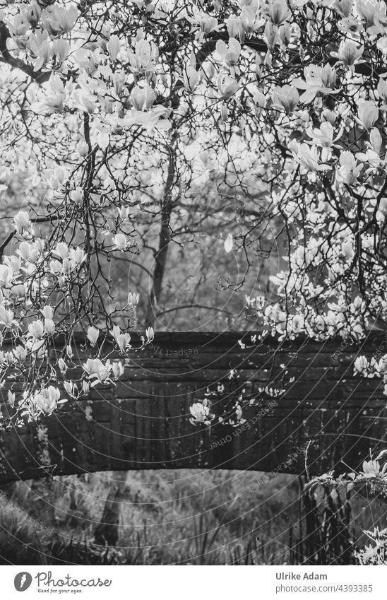 Lieblingsplatz - Magnolien in voller Blüte vor einer alten Steinbrücke Rhododendronpark Bremen Außenaufnahme Gegenlicht Menschenleer Umwelt Licht Pflanze Natur