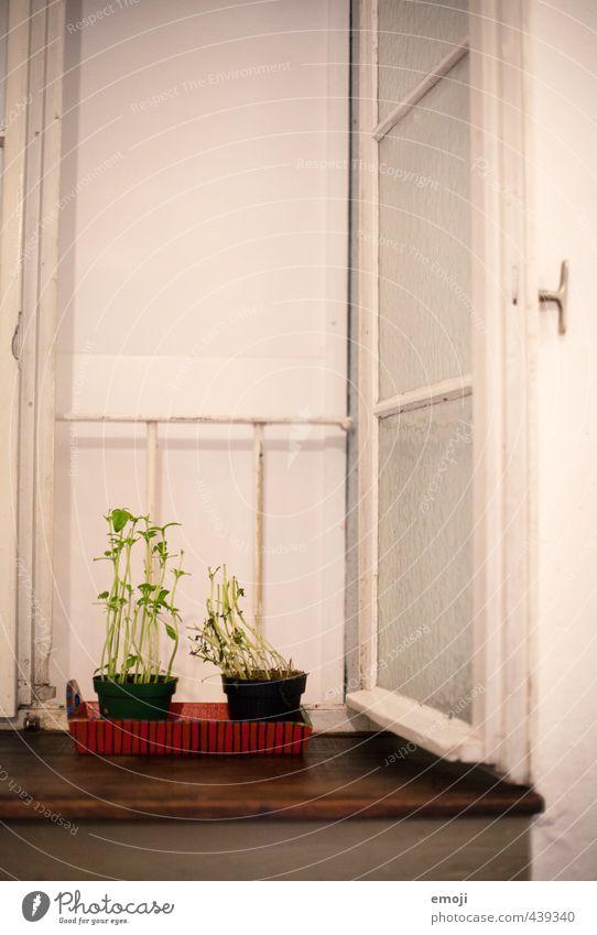 Fensterplatz Kräuter & Gewürze Bioprodukte Pflanze Grünpflanze Mauer Wand natürlich grün Kresse Farbfoto Innenaufnahme Menschenleer Textfreiraum oben