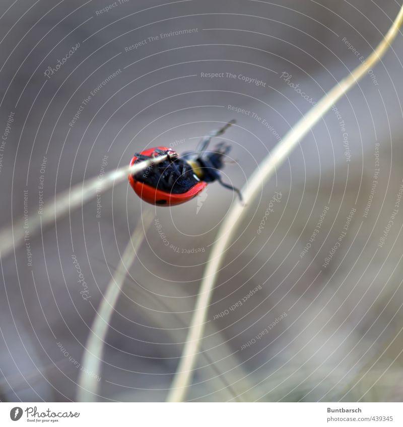 Stabhochsprung Natur Tier Gras Halm Käfer Marienkäfer Insekt 1 Bewegung hängen klein niedlich Klettern Farbfoto Außenaufnahme Nahaufnahme Makroaufnahme