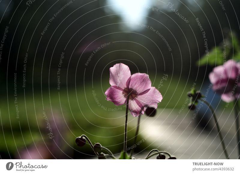 Ein letztes Leuchten. Noch ist der Sommer nicht fort. Schwingt ein dunkler Ton. Herbst-Anemone anemone hupehensis Blume Blüte blühend blass violett lila rosa
