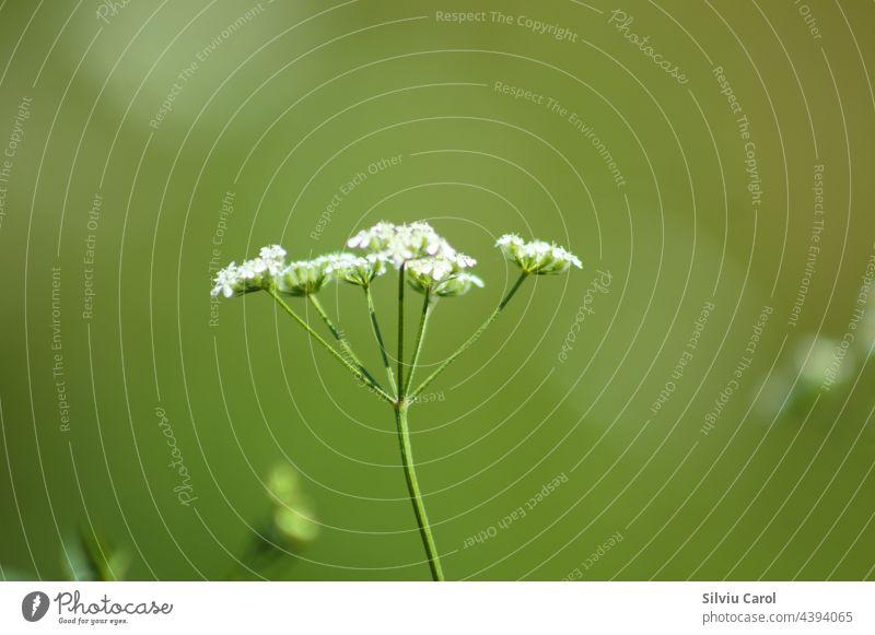 Blühende Heckenbraunelle in Nahaufnahme mit grünem, unscharfem Hintergrund klein Sommer Tierwelt weiß Gras vereinzelt Makrofotografie Wissenschaft Heuschrecke