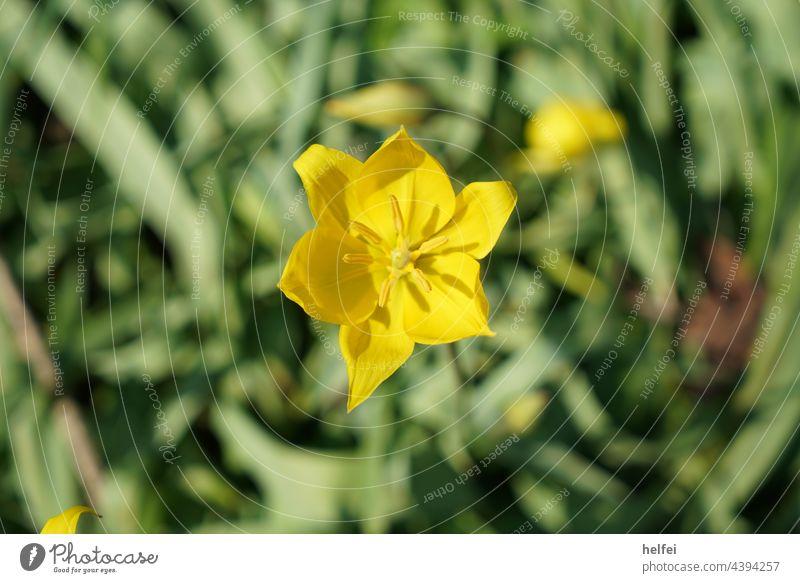 Gelbe Blume im Feld vor Hintergrund freigestellt Blüte gelb Makroaufnahme Frühling grün Zierblume Wildblume Gartenblume sonniger Tag Frühlingsgarten