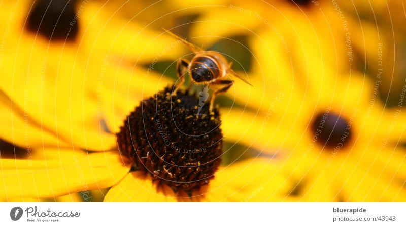 Biene von hinten Hinterteil Blume gelb Mitte Blüte Flügel Beine Samen Rückansicht