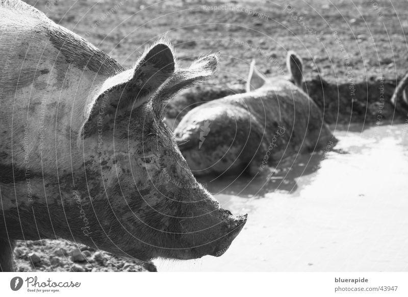 Schweinerei Natur Teich dreckig schwarz weiß Sau Schlamm Borsten Geruch Übelriechend Schlammbad suhlen Schwarzweißfoto Außenaufnahme Tag Schweinekopf Kopf Ohr