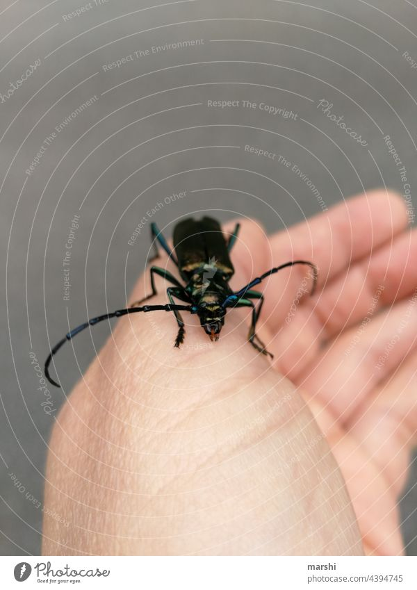 Moschusbock käfer tier fauna tierwelt moschusbock hand tiefreund lebewesen insekt unschärfe lebendig ekel angst garten