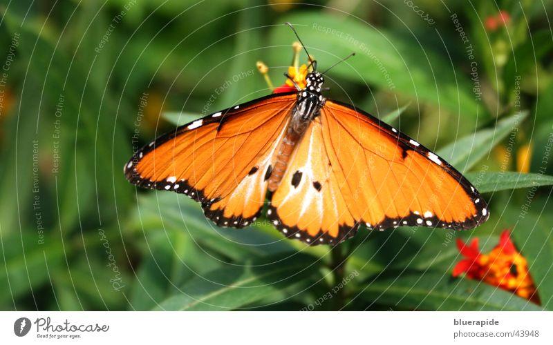 Schmetterling #2 grün Pflanze Sommer Blatt schwarz orange leuchten Flügel Schmetterling