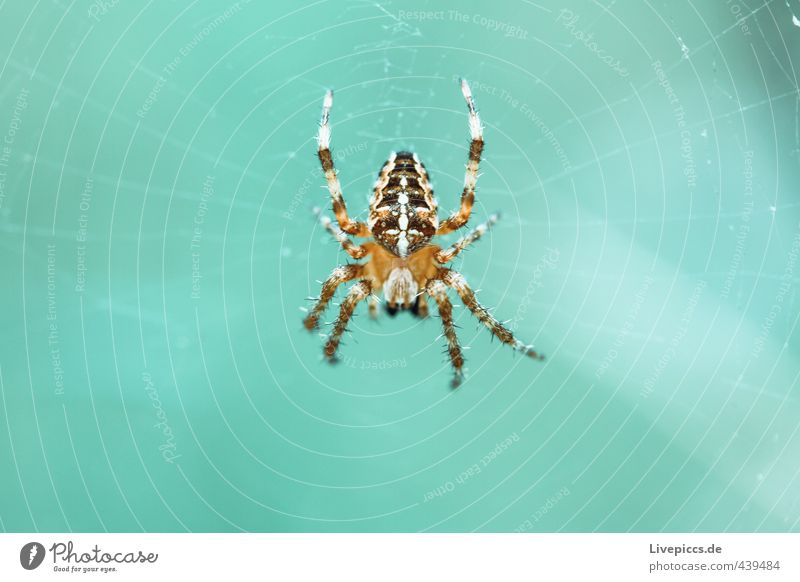 Spinne Tier kalt klein wild Wildtier warten bedrohlich Insekt türkis krabbeln Spinne listig