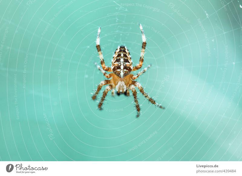 Spinne Tier kalt klein wild Wildtier warten bedrohlich Insekt türkis krabbeln listig